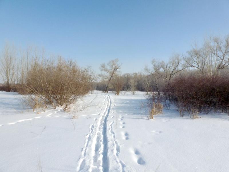 20170218. Наша лыжня в роще на одном из островов, образованных протоками Иртыша.