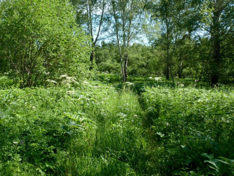 20170624. В гуще травостоя, на типичной заросшей лесной дороге.