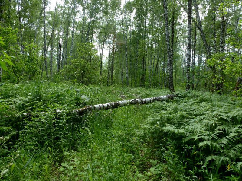 20170624. На заброшенной дороге в лесу вокруг северного искитимского каменного карьера.