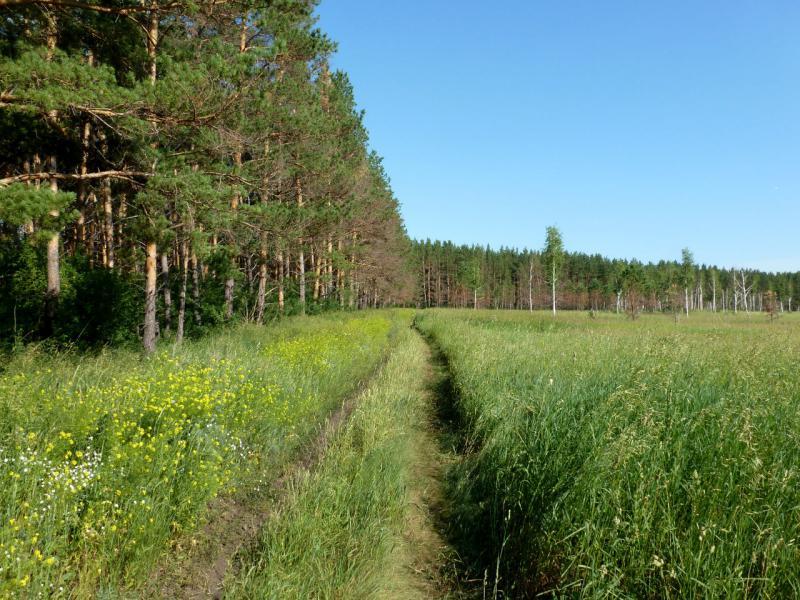 20170624. Вдоль соснового бора под дачным посёлком Росинка, что на юго-западе от Бердска.