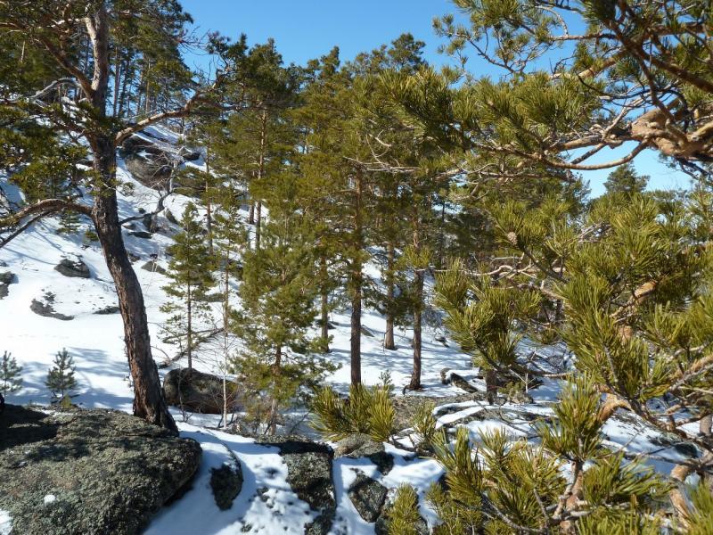 20110321: В редком сосняке на склоне горы.