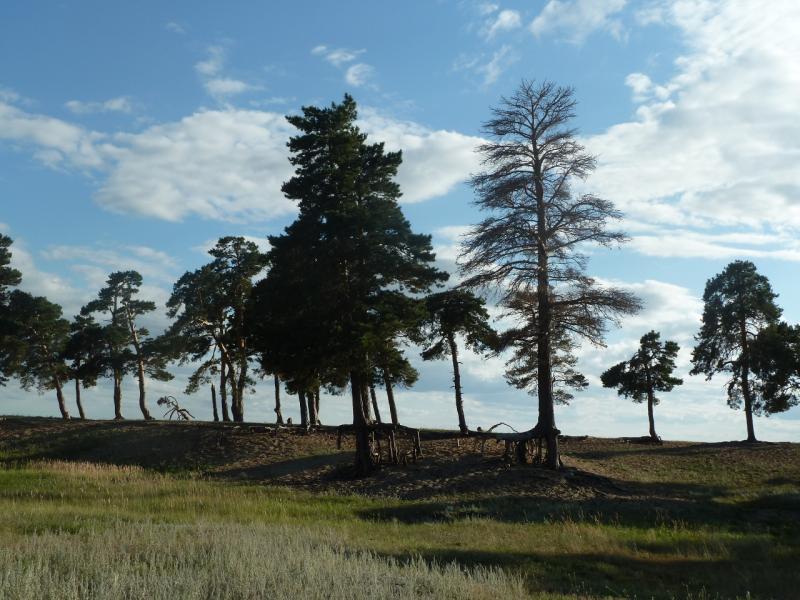 20110818. Астана-Боровое. Сосны удерживают дюны озера Жукей ценою своих жизней.