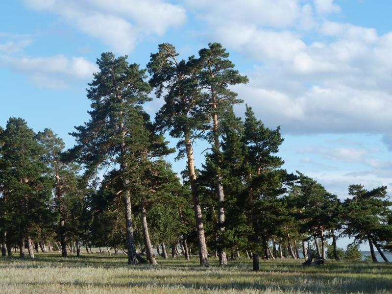 20110818. Астана-Боровое. Сосняк на северном берегу солёного озера Жукей.