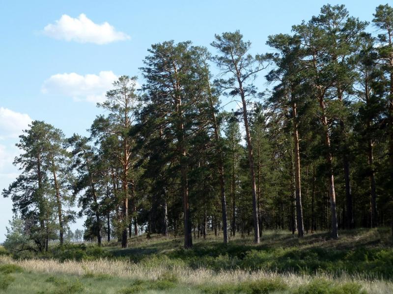 20120513. Сосновыми борами ВКО: небольшой сосновый бор у села Семёновка.