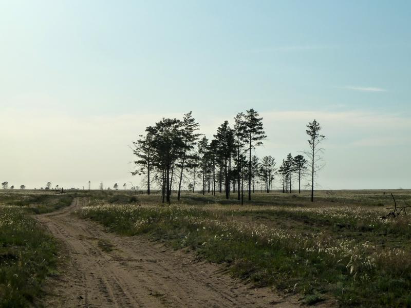 20120513. Сосновыми борами ВКО: остатки соснового бора у села Бегень.