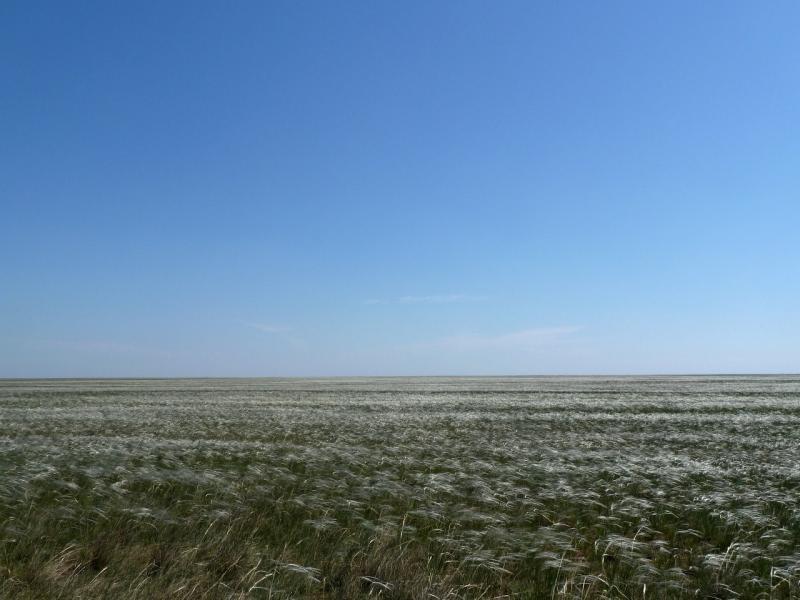 20120514. На Майкарагай: поля ковыля у дороги Тасагаш-Жабагыль.