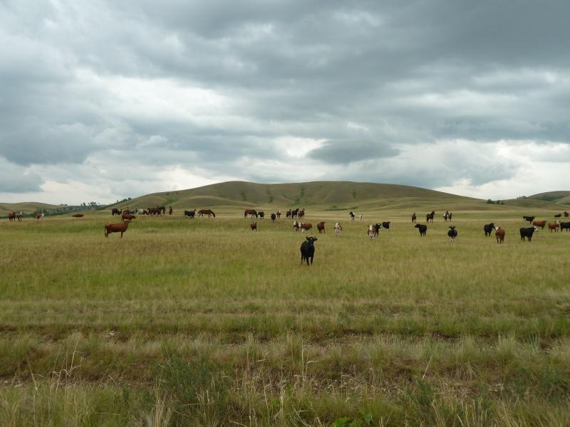 20120630. Баймен-2012: атака диких коров.
