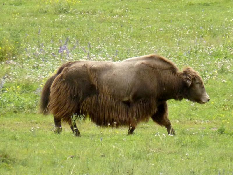 20180807. Тибетский бык, он же як - в летней лёгкой шубе.