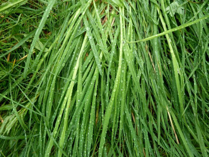 20130603. Роса на траве в округе стоянки.