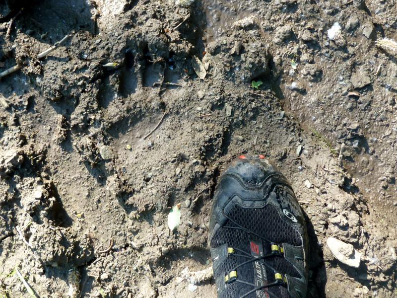 20130607. След молодого медведя, в сравнении с моей ногой в кроссовке 46-го размера.