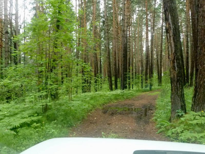 20200621. Красноярск. В сосновом лесу перед речушкой Крутенькая.