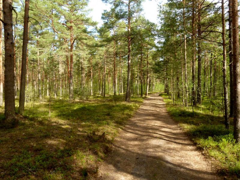 20160516. Лесная дорога в сосняке, между посёлком Коккорево и озером Шимпалатовское.