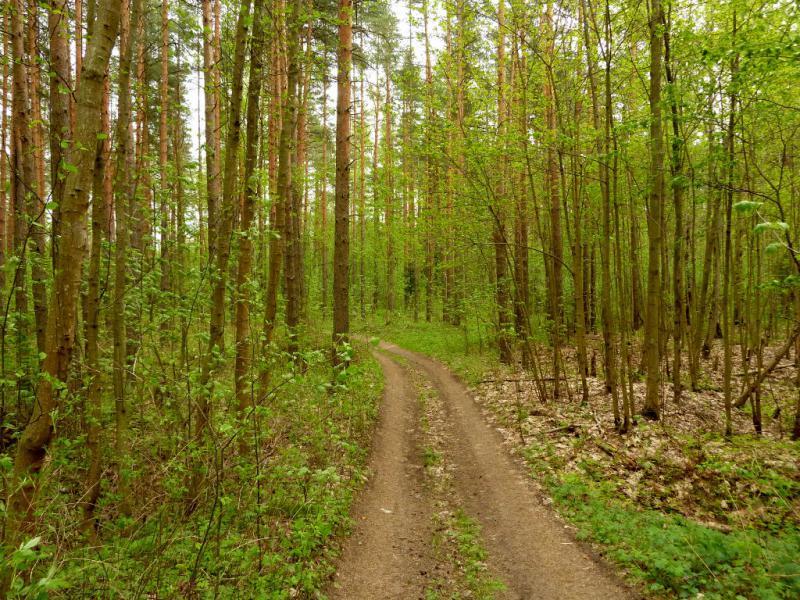 20160516. Лесная дорога по линии обороны Ленинграда во время второй мировой войны.