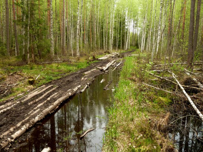 20160516. У разломанной гати на лесной дороги близ болот на правом берегу реки Невы.