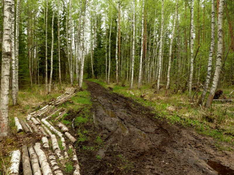 20160516. Лесная дорога в непосредственной близости от массива болот.