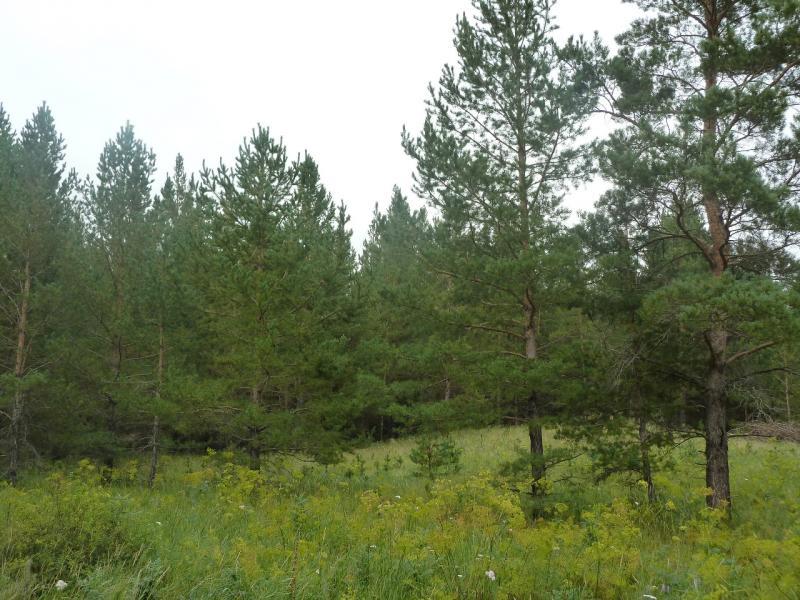 20110817. Астана-Боровое. Лес вычищен, как на показ.