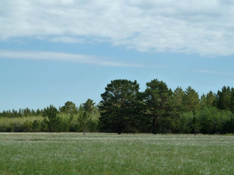 20120515. Шалдайскими борами: лес у дороги под Майкарагаем.