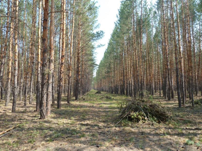 20120516. Краем Щербактинского района: прореживание леса неподалеку от Жанааула.