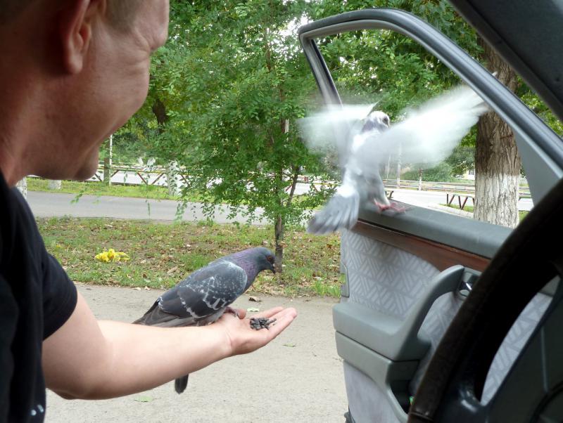 20120802. В Экибастузе. Непуганые голуби на руках нашего водителя.