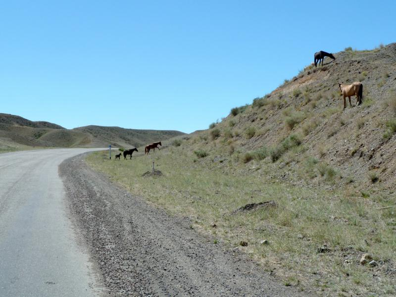 20130522. Чарынские лошадки на пастбище.