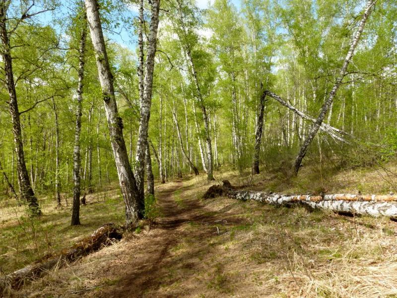 20200503. Красноярск. В березняке на юго-западном склоне горы Сопка.