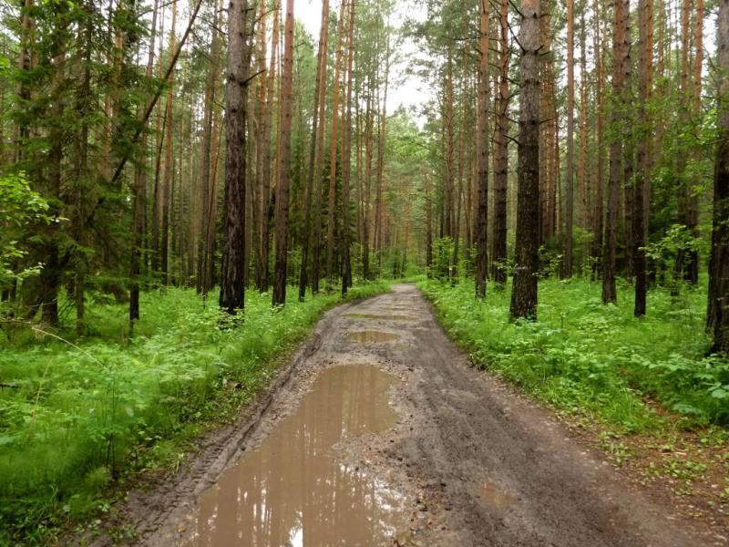 20200621. Красноярск. Типичная дорога в лесу за посёлком Боровое.